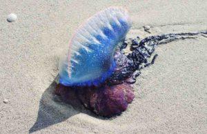 """Quallen-Alarm auf Lanzarote und Formentera: Vorsicht vor der hochgiftigen """"Portugiesischen Galeere"""" (Foto: Pixabay)"""