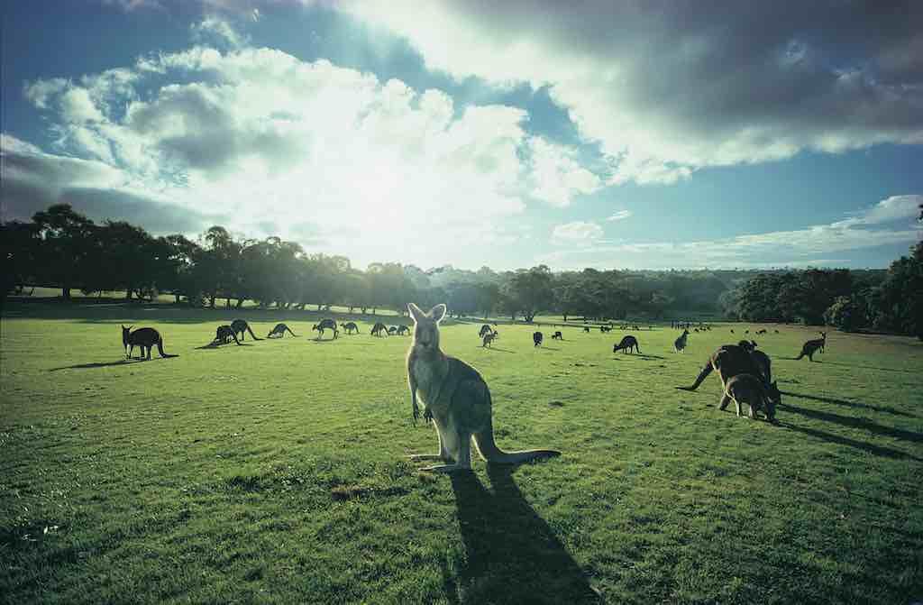 Visit Victoria: Kängurus besetzen den Anglesea Golf Course