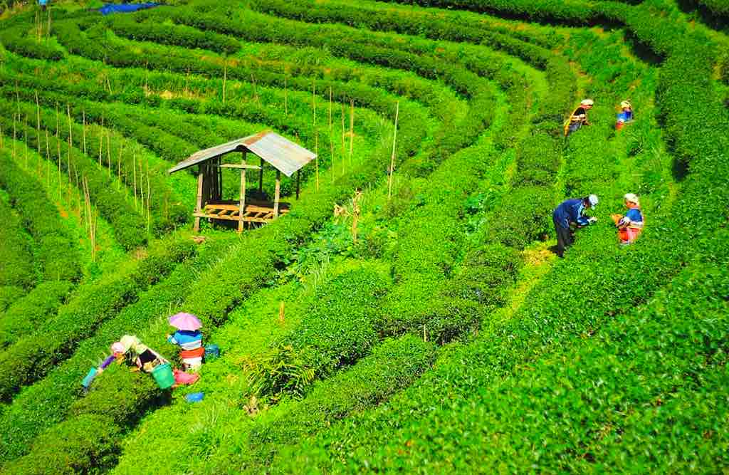Teeplantage in Chiang Mai (Foto: Green Pearls)
